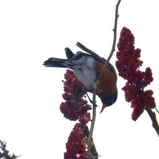 a robin eats sumac berries