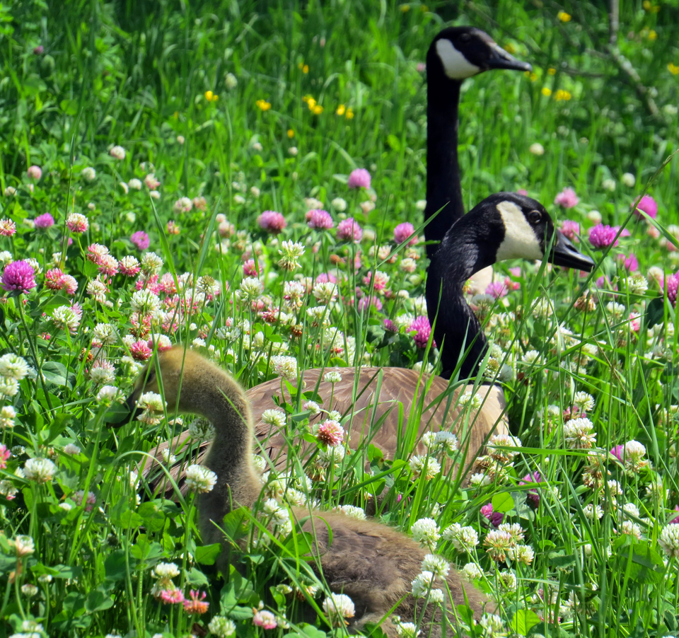photo of canada geese walking among wildflowers